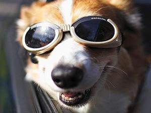 Le MUST des lunettes pour chien